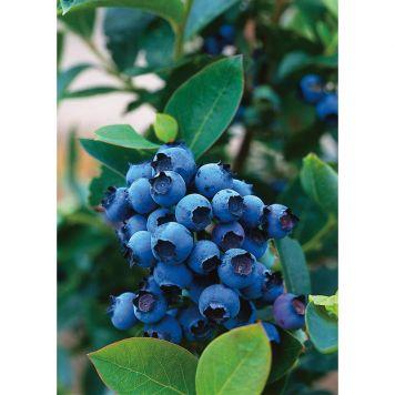 Hybrid blåbär 'Northblue', 30 40 cm | Granngården